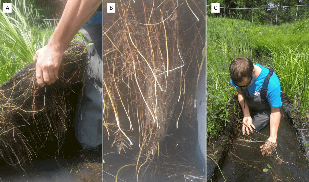 Three photos - person holding raft with plant roots; plant roots; person next to floating rafts.